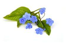 Flores azules en blanco Foto de archivo libre de regalías