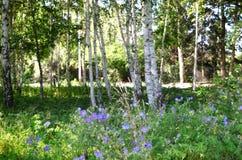 Flores azules en bosque del abedul Fotografía de archivo libre de regalías