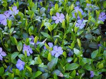 Flores azules en el fondo del verano del jard?n imágenes de archivo libres de regalías