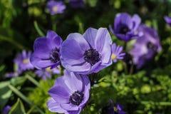 Flores azules en el jardín Fotografía de archivo