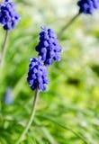 Flores azules en hierba verde Fotos de archivo libres de regalías