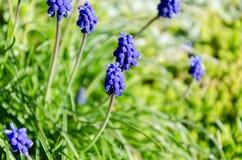 Flores azules en hierba verde Foto de archivo