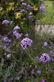 Flores azules en jardín inglés Foto de archivo
