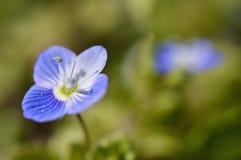 Flores azules en prado Fotografía de archivo libre de regalías