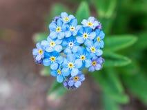 Flores azules en un fondo verde LAT de la nomeolvides Tis del ³ de Myosà fotografía de archivo libre de regalías