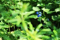 Flores azules entre el campo verde de las hojas fotos de archivo