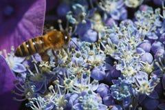 Flores azules florecientes del hydrangera Fotos de archivo