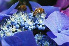 Flores azules florecientes del hydrangera Fotos de archivo libres de regalías