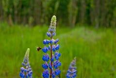 Flores azules florecientes del lupine del verano delante del bosque Imagenes de archivo