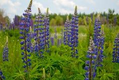 Flores azules florecientes del lupine del verano delante del bosque Fotografía de archivo