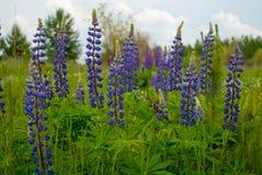 Flores azules florecientes del lupine del verano delante del bosque Imagen de archivo