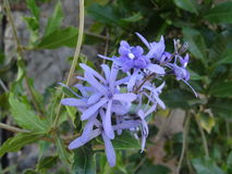 Flores azules Flores Azules Foto de archivo