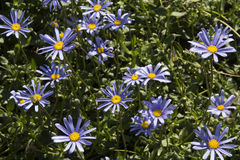 Flores azules hermosas de Osteospermum en el jardín Foto de archivo libre de regalías