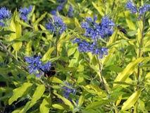 Flores azules hermosas en jardín Fotos de archivo libres de regalías