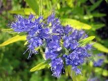 Flores azules hermosas en jardín Fotografía de archivo libre de regalías