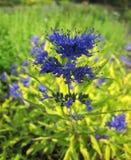 Flores azules hermosas en jardín Foto de archivo libre de regalías