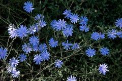 Flores azules hermosas que crecen en el verano en Europa Despu?s de un d?a lluvioso fotografía de archivo