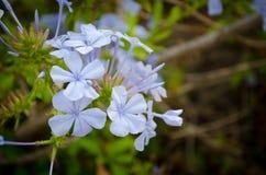 Flores azules inusuales Fotografía de archivo libre de regalías