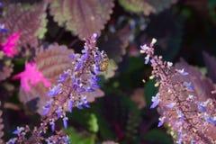 Flores azules que se presentan de aturdir las hojas de Borgoña y del rosa Imagen de archivo libre de regalías