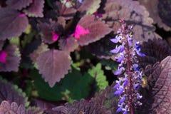 Flores azules que se presentan de aturdir las hojas de Borgoña y del rosa Fotografía de archivo
