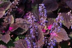 Flores azules que se presentan de aturdir las hojas de Borgoña y del rosa Imágenes de archivo libres de regalías