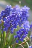 Flores azules. Resorte Imagenes de archivo