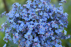 Flores azules salvajes Imágenes de archivo libres de regalías
