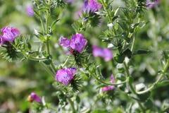 Flores azules salvajes con el fondo defocused Imagen de archivo libre de regalías