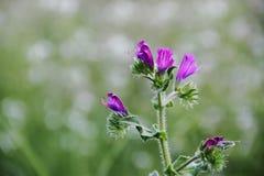 Flores azules salvajes con el fondo defocused Fotografía de archivo libre de regalías