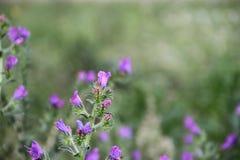 Flores azules salvajes con el fondo defocused Imagenes de archivo