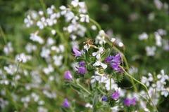 Flores azules salvajes con el fondo defocused y de las abejas Foto de archivo