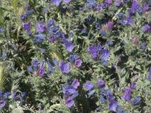Flores azules, salvajes en primavera fotografía de archivo