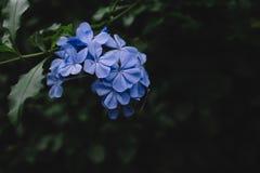 Flores azules sobre las hojas verde oscuro fotografía de archivo