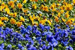 Flores azules y amarillas en un macizo de flores, los colores de la viola de la bandera ucraniana foto de archivo libre de regalías