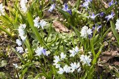Flores azules y blancas del scilla en primavera Foto de archivo libre de regalías