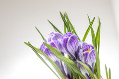Flores azules y blancas rayadas de la primavera Imágenes de archivo libres de regalías