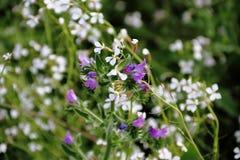 Flores azules y blancas salvajes con el fondo defocused Fotos de archivo