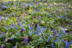 Flores azules y primeras de la primavera de la lila Fotos de archivo