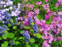 Flores azules y rosadas Foto de archivo