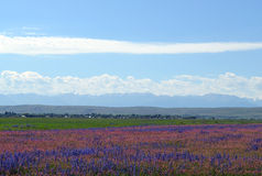 Flores azules y rosadas en un fondo de montañas nevosas Imagen de archivo libre de regalías