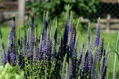Flores azulverdes de la montaña Imagenes de archivo