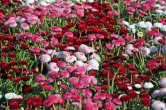 Flores bastante rojas y blancas del verano Imagenes de archivo