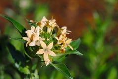 Flores bege na estrela divariate do flox fotografia de stock