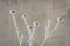 Flores belamente congeladas do espinho na opinião do close-up fotos de stock