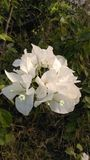Flores blancas Imagenes de archivo