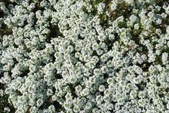 Flores blancas Fotografía de archivo