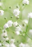 Flores blancas Foto de archivo libre de regalías