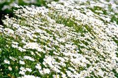 Flores blancas. foto de archivo libre de regalías