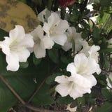 Flores blancas Fotografía de archivo libre de regalías