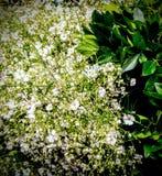 Flores blancas royaltyfri bild